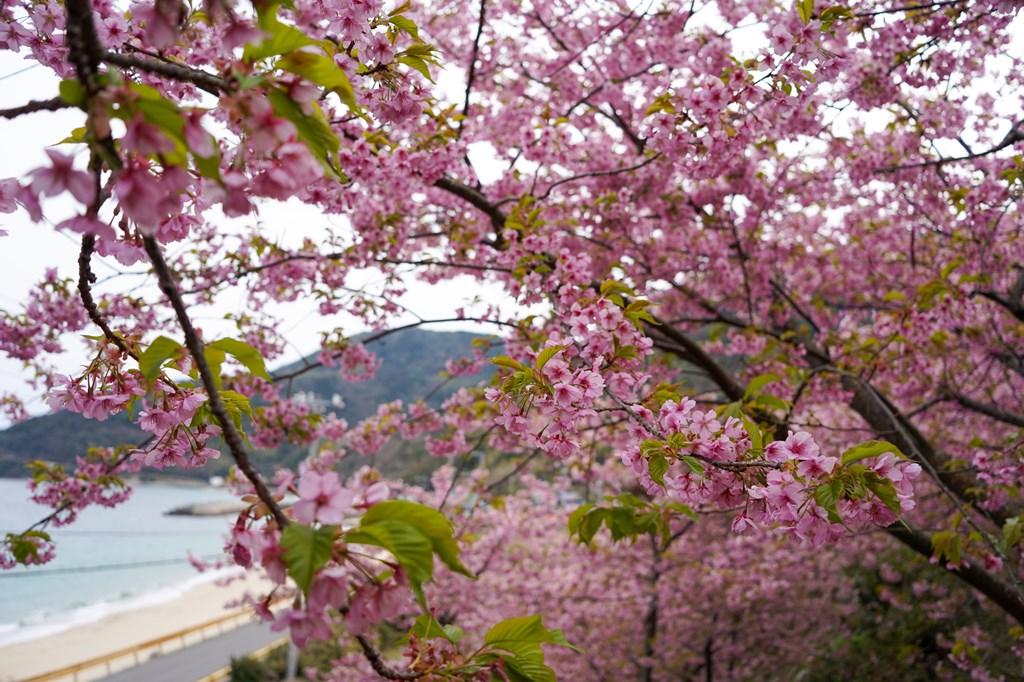 小積の河津桜見頃です。