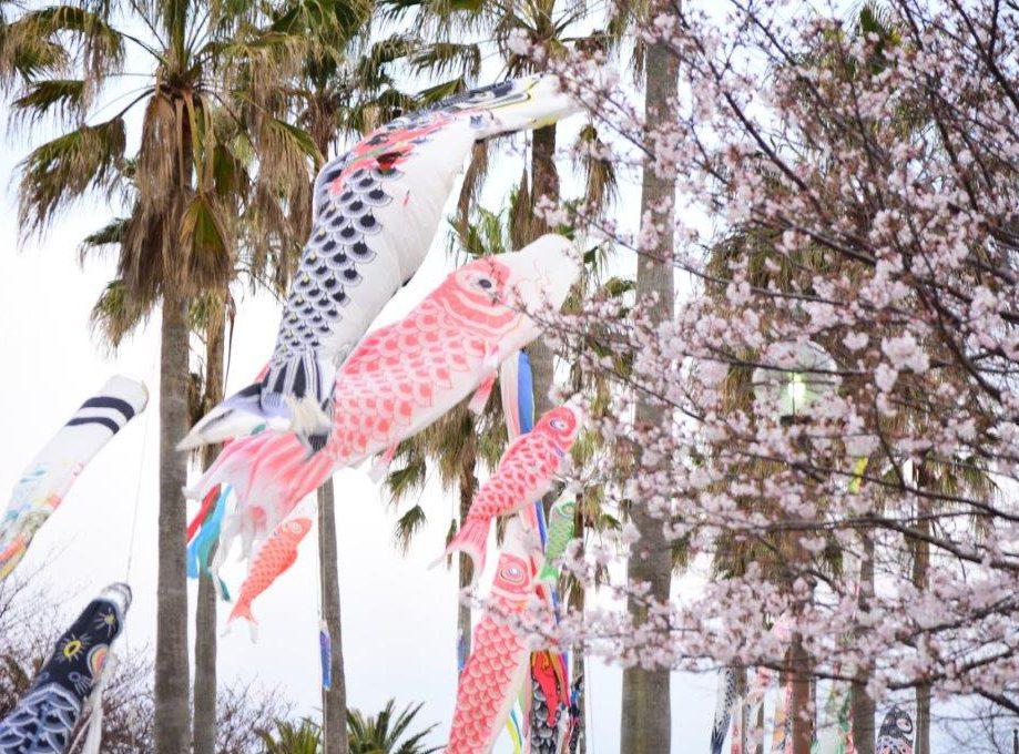 桜が満開🌸桜と鯉と海と椰子の風景